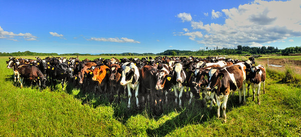 Grazing dairy cattle at Fern Road Farm. Another iPhone 5 panorama.