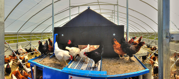 Pastured laying hens inside their new, custom built house