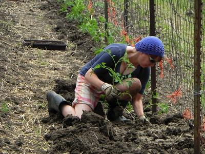 MO-16-0530 PLANTING TOMATOES: Blue Heron Orchard-Organic Farm