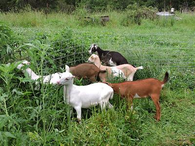 16-0603MO-Ken JenMuno GoatsbeardFarm (11)