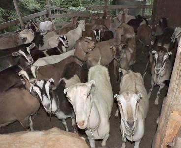 16-0603MO-Ken JenMuno GoatsbeardFarm (37)