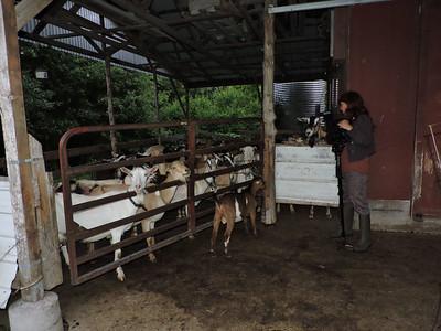 16-0603MO-Ken JenMuno GoatsbeardFarm (32)