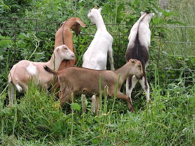 16-0603MO-Ken JenMuno GoatsbeardFarm (19)