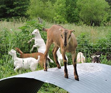 16-0603MO-Ken JenMuno GoatsbeardFarm (12)