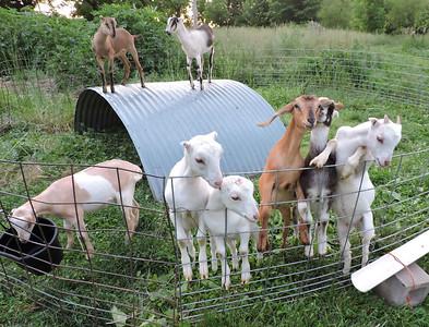 16-0603MO-Ken JenMuno GoatsbeardFarm (40)