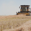 A combine harvests canola.  In 2013, Saskatchewan produced 50% of Canada's canola.<br /> <br /> Wilbar Farms was established in 1924 by John and Mary Willms, who immigrated to Canada from the Ukraine and purchased land near Dundurn, Saskatchewan.  The farm has always been a mixed operation of grain with a commercial herd of Hereford, then Angus cattle.  Today, Dan and Bonnie Willms operate the grain side of this family farm.  The farm has a land base of 10,000 acres of which 7,000 acres is cultivated and 3,000 acres is hay and pasture.  The crop rotation includes cereals, oilseeds and pulses.