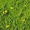 A field of oriental mustard.