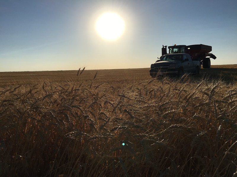 Ripe wheat stands in a field ready to be harvested.  Saskatchewan wheat exports reached $4.2 billion in 2015, a 141% increase over the previous 10 years.  #farmfact