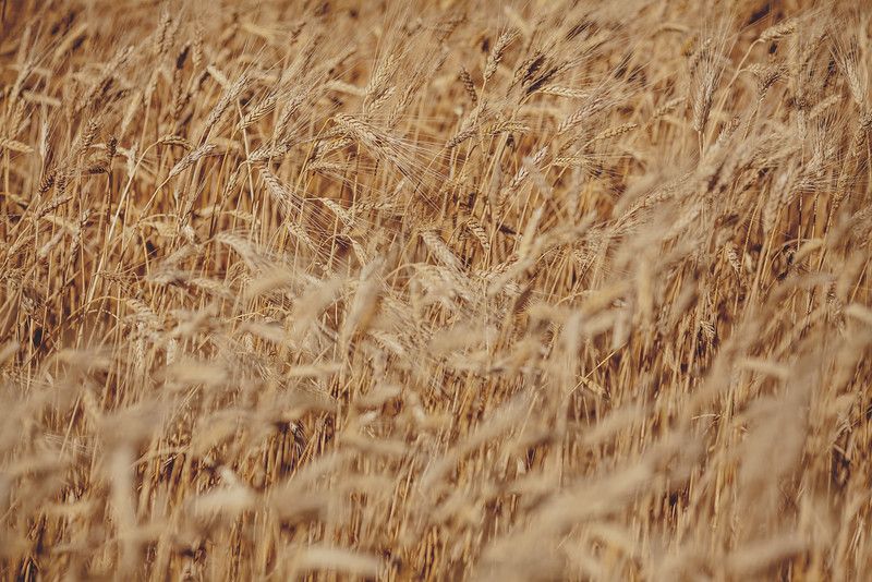 Nodding golden heads of ripening wheat.  In 2015, Saskatchewan wheat exports reached $4.2B, a 141% increase over the past 10 years.<br /> <br /> Wilbar Farms was established in 1924 by John and Mary Willms, who immigrated to Canada from the Ukraine and purchased land near Dundurn, Saskatchewan.  The farm has always been a mixed operation of grain with a commercial herd of Hereford, then Angus cattle.  Today, Dan and Bonnie Willms operate the grain side of this family farm.  The farm has a land base of 10,000 acres of which 7,000 acres is cultivated and 3,000 acres is hay and pasture.  The crop rotation includes cereals, oilseeds and pulses.