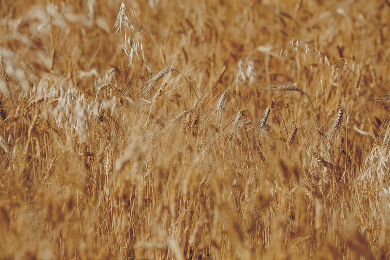 A few wild oats - a troublesome weed in western Canada - poke up within a field of ripened wheat.  In 2015, Saskatchewan wheat exports reached $4.2 B, a 141% increase over the past 10 years.<br /> <br /> Wilbar Farms was established in 1924 by John and Mary Willms, who immigrated to Canada from the Ukraine and purchased land near Dundurn, Saskatchewan.  The farm has always been a mixed operation of grain with a commercial herd of Hereford, then Angus cattle.  Today, Dan and Bonnie Willms operate the grain side of this family farm.  The farm has a land base of 10,000 acres of which 7,000 acres is cultivated and 3,000 acres is hay and pasture.  The crop rotation includes cereals, oilseeds and pulses.