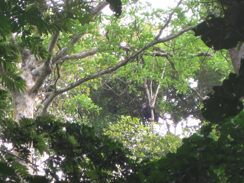 Chimpanzees at entrance to Lake Barombi Mbo, Kumba, Southwest Province, Cameroon.