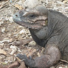 Rhinoceros iguana (<i>Cyclura cornuta</i>) basking at Lago Enriquillo.