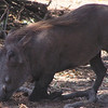 Warthog in South Luangwa National Park, Zambia