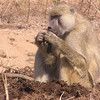 Baboon feasting on elephant dung