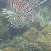 Invasive lionfish (we later ate him for dinner!)