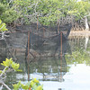 Field enclosures used for measurement of F2 hybrid survival and growth over four months in Little Lake.