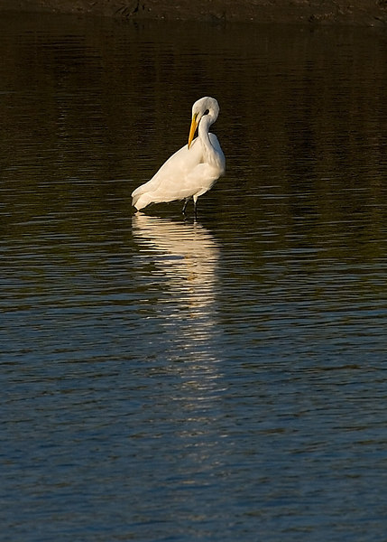 Great White Egret <br /> August, 2006 (8/15/2006)<br /> <br /> Daily Photo for Thursday<br /> <br /> I love the light, etc.  Can't do Charleston w/o birds, overdone or not.