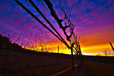 The Vineyard in Winter