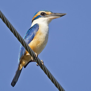 Pacific Kingfisher 6043