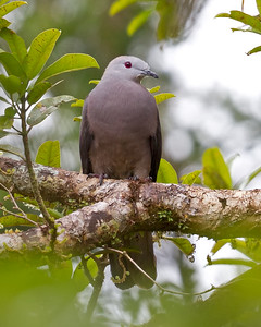 Peale's Imperial Pigeon 6355
