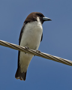 Fiji Woodswallow 6411