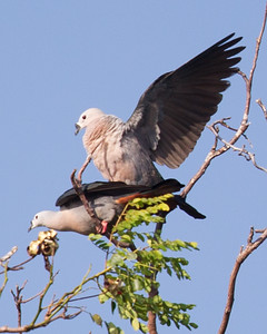 Pacific Imperial-Pigeon 7235
