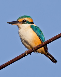 Pacific Kingfisher 5247