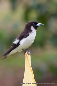 Fiji Woodswallow 5889