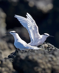 Black-naped Tern 6428