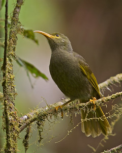 Chattering Giant-Honeyeater 6291