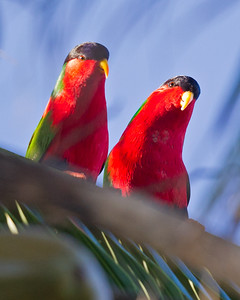 Collared Lory 5502