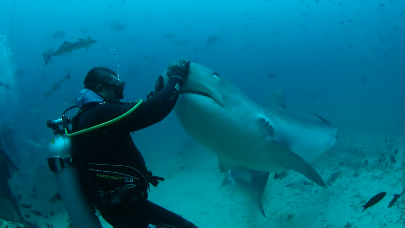 Tiger Shark Nose Rub