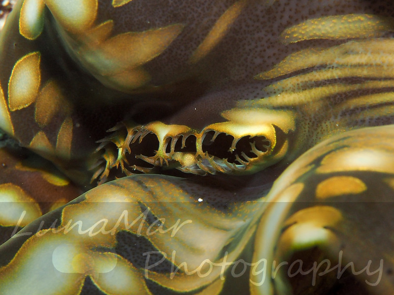 Brown Giant Clam