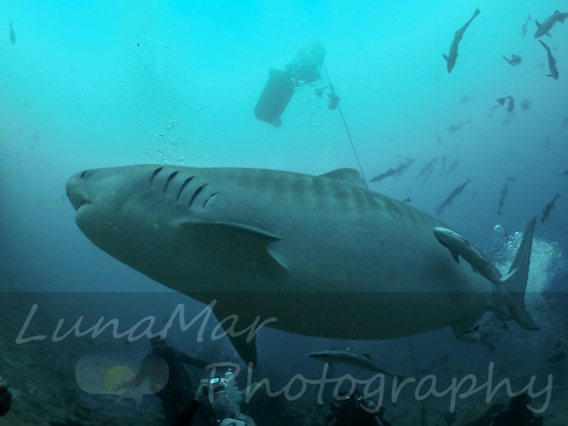Huge Tiger Shark