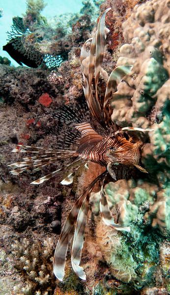 Lionfish   (Pterois)