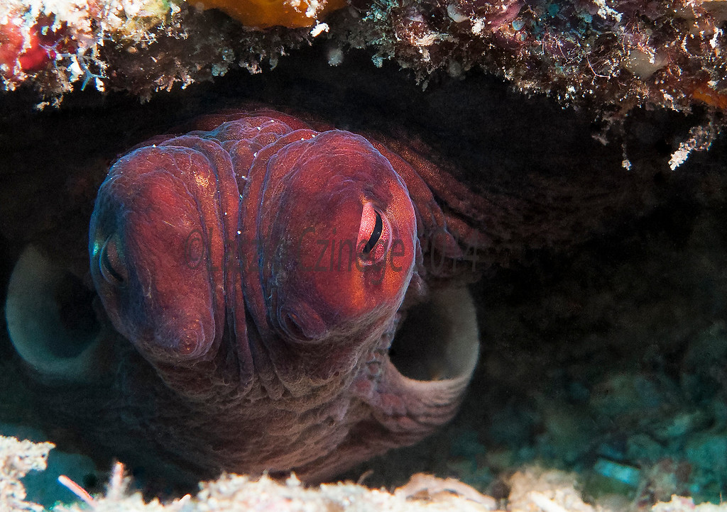 "Octopus  at the ""Supermarket"" near Malolo Island  Fiji <br />  Dec 2012"