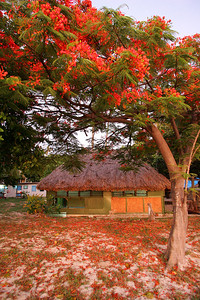 Coral tree bloom at Fiji camp