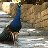 Peacock walking majestically down the stone steps.