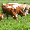 //www.dreamstime.com/stock-images-cows-eating-grass-image2344974