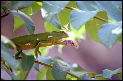 Chameleon feeding, South Africa