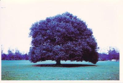 Greak Oak behind Greenwich Observatory