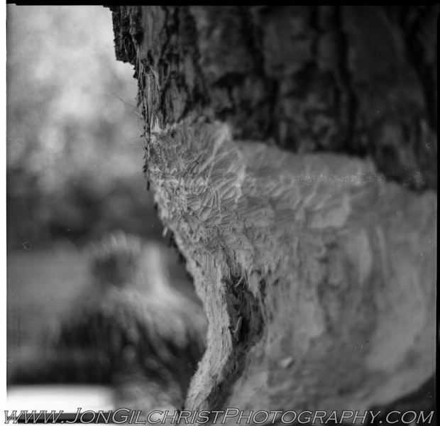 beaver tree, corrected exposure. Shot on Kodak T-Max 100 (120 Gelatin Silver)