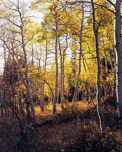 Aspens at Sunset