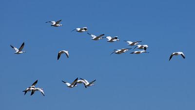 Winter Migration at the Salton Sea