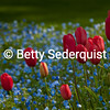 Red Tulips, Blue Flowers