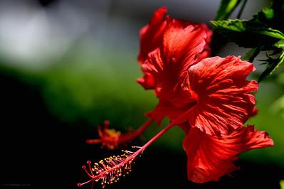 Hibiscus Shoots