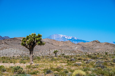 We are rising in elevation with the Sierra Nevada seen in the distance beyond the Joshua Tree.