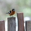 Black-headed grosbeak - male