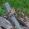 Black-headed grosbeak - female