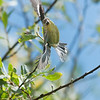 Lesser goldfinch - female